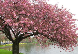 Cherry Blossom Tree Asian Landscape Seattle By