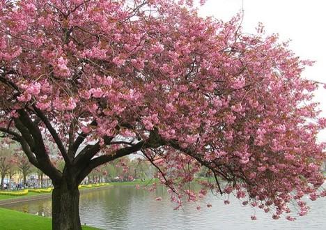 china landscape cherry trees - photo #7