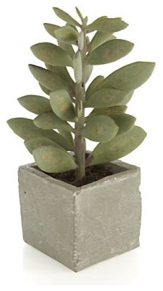 Potted tall succulent contemporary plants by crate for Indoor decorative live plants