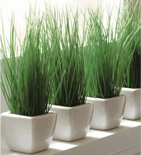 Potted Wheat Grass - Modern - Indoor Pots And Planters - by Organize