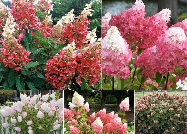 Hydrangea Vanilla Strawberry Contemporary Landscape