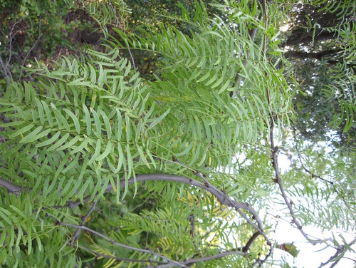 Tree With Long Thin Paired Leaves
