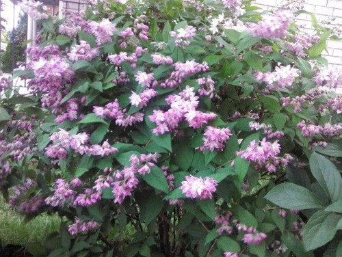 Help identify a shrub with purple flower for Purple flowering shrubs identification