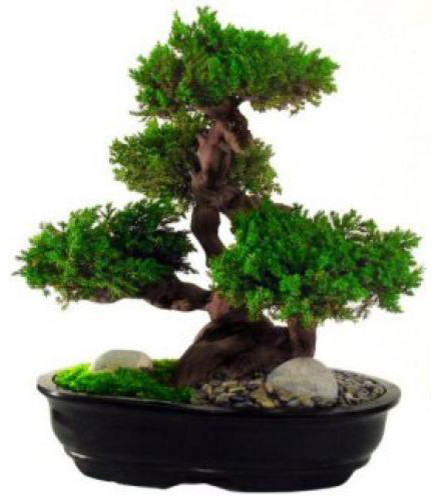 "20"" Monterey, Preserved Bonsai Tree asian-artificial-flowers-plants-and-trees"