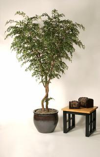 ming aralia on natural dragon wood transitional phoenix by botanical elegance. Black Bedroom Furniture Sets. Home Design Ideas