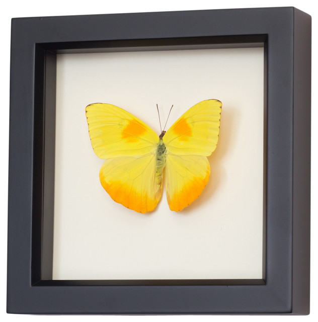 Real Framed Clouded Sulphur Butterfly contemporary-decorative-accents