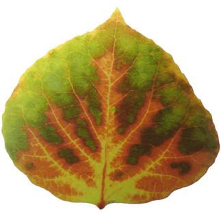 """Medium Green, Orange, & Yellow Aspen Leaf 1 "" (Original) By Agustin Goba contemporary-photographs"