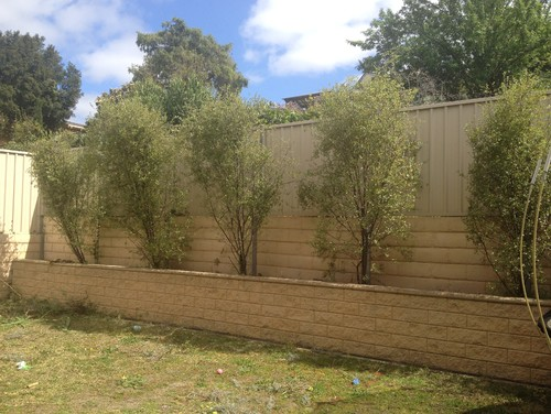Landscaping ideas hiding a colourbond fence - Garden ideas to hide fence ...